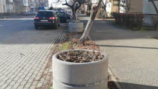 copaci-arad4