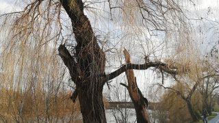 copaci-arad7