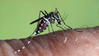 Aedes-Albopictus_B
